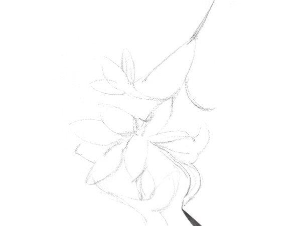 速写喇叭花的画法步骤一