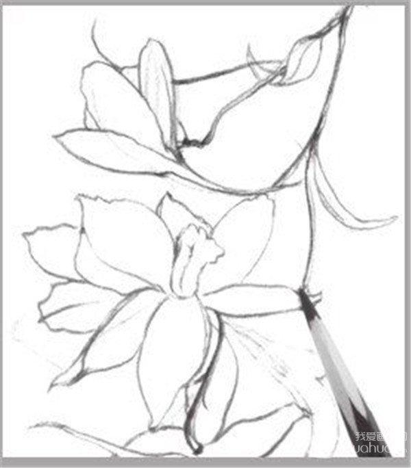 速写喇叭花的画法步骤六