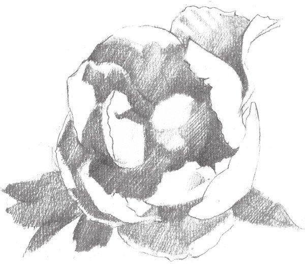 素描牡丹花的绘画步骤教程(2)