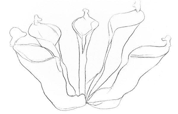 素描植物瓶子草的绘画步骤教程三