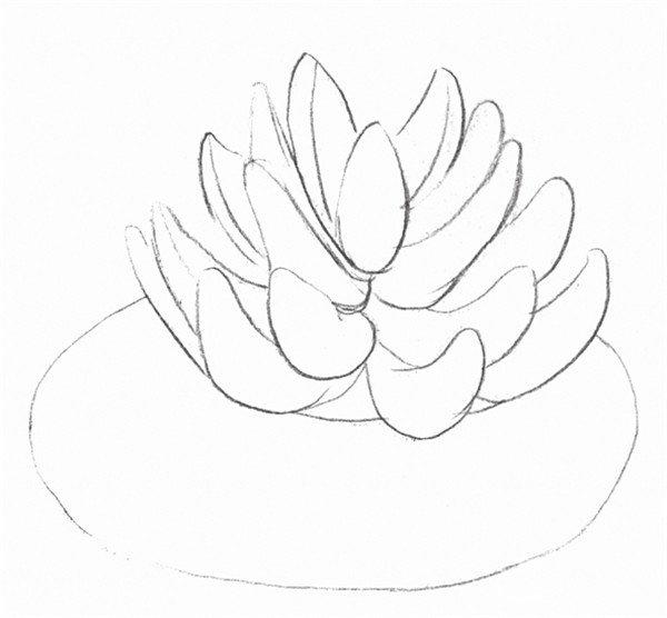 素描多肉植物的绘画步骤三