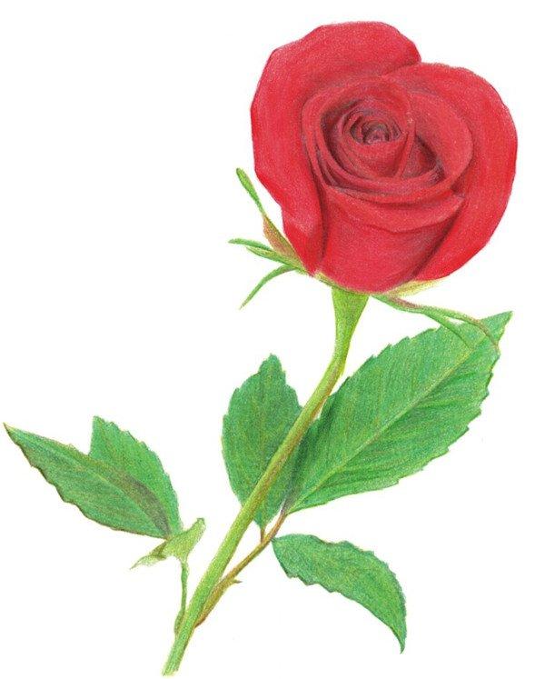 水粉画玫瑰花图-色彩画玫瑰的绘画技法