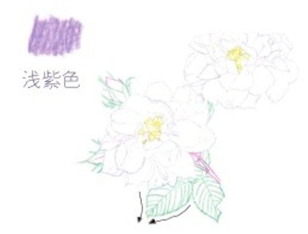 彩铅月季的绘画步骤(3)