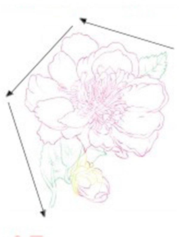 (2)接下来用浅粉色的铅笔把山茶花的整片花朵完整地勾画出来.