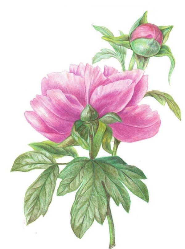 彩铅芍药花的绘画步骤
