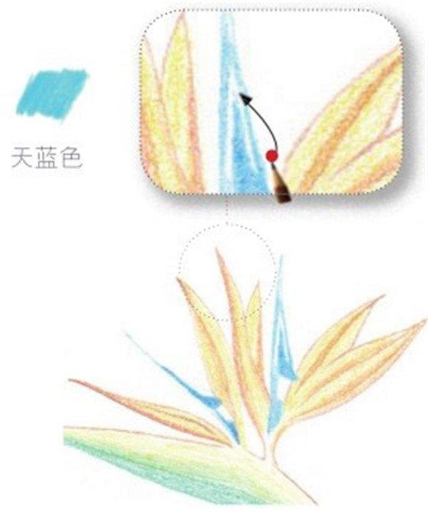 2、绘制望鹤兰的花瓣部分 (1)用淡黄色的铅笔涂抹花朵底色,边缘处用橘黄色的铅笔进行修饰。  绘制望鹤兰的花瓣部分一 (2)细心地用天蓝色的铅笔涂抹望鹤兰的花蕊部分,注意空出留白。  绘制望鹤兰的花瓣部分二 (3)在望鹤兰左侧花瓣上用淡黄色的铅笔叠加一层底色,花瓣的暗部用橘黄色铅笔勾画。  绘制望鹤兰的花瓣部分三 (4)按照步骤03,用天蓝色的铅笔涂抹望鹤兰中间的花朵颜色。  绘制望鹤兰的花瓣部分四