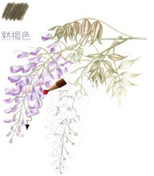 彩铅紫藤花的绘画步骤(7)