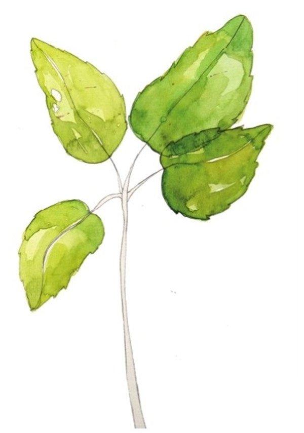 学画画 水彩画教程 水彩画技法     3,给左边两片叶子上第二层颜色