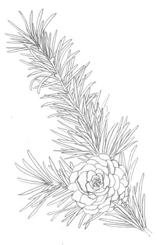 水彩松树果绘画步骤