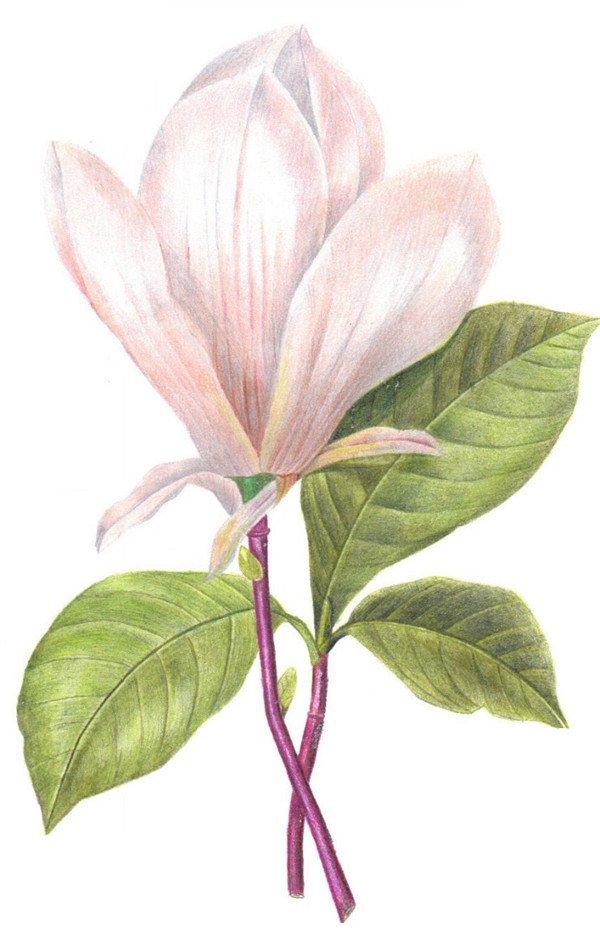 彩铅花卉步骤教程图解